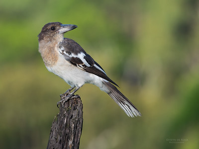 Pied Butcherbird, juv, Worongary, QLD, March 2016-4