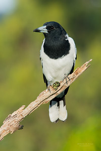 Pied Butcherbird, Worongary, QLD, March 2016-1