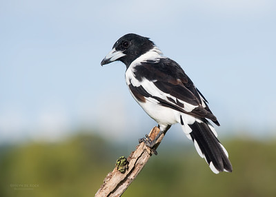 Pied Butcherbird, Worongary, QLD, March 2016
