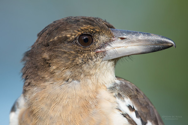 Pied Butcherbird, juv, Worongary, QLD, March 2016-1