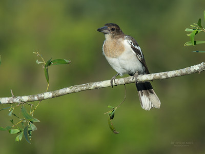 Pied Butcherbird, juv, Worongary, QLD, March 2016-2