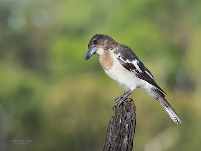 Pied Butcherbird, juv, Worongary, QLD, March 2016-5