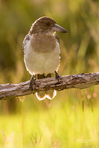 Pied Butcherbird, juv, Worongary, QLD, March 2016-7
