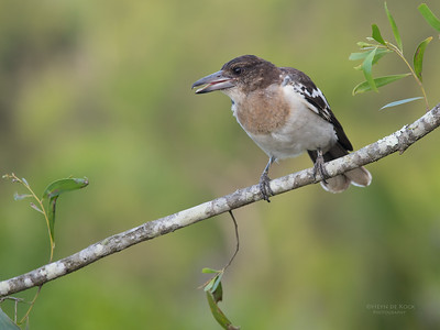 Pied Butcherbird, juv, Worongary, QLD, March 2016-3