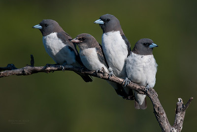 White-breasted Woodswallow, Currumbin, QLD, Aus, Jan 2011-2