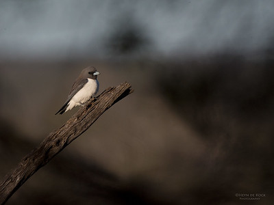 White-breasted Woodswallow, SA, Aus, Nov 2014-2
