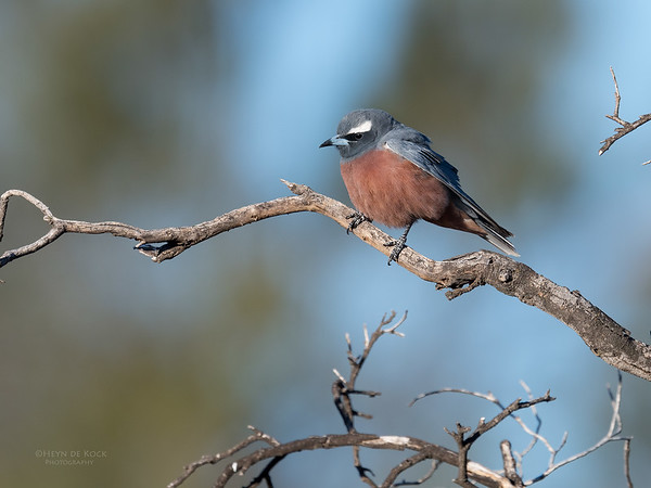 White-browed Woodswallow, St George, QLD, Sept 2017-1