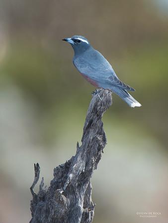 White-browed Woodswallow, Gluepot, SA, Aus, Nov 2014