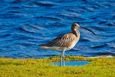 Curlew on the shore