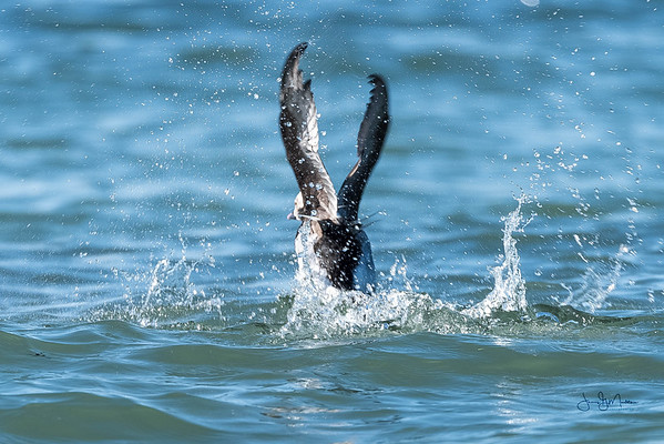 Long-tailed duck take off