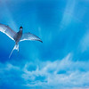 Arctic Tern into the Blue
