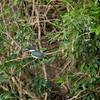 Green Kingfisher, Marti-pêcheur vert