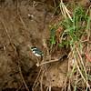 Amazone Kingfisher, Martin-pêcheur d'Amazonie