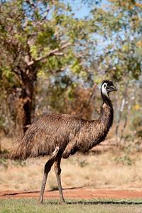dromaius novaehollandiae,emu,emoe,emeu d'australie,Jarlmadangah,Australia,Australië