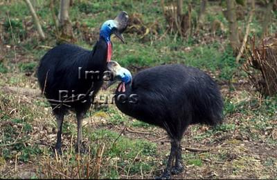1-30-60-0085 Casuarius casuarius,Southern Cassowary,helmkasuaris,Casoar à casque ,exotic birds,exotische vogels,oiseaux exotiques