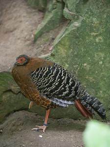 Catreus wallichi Cheer pheasant Wallichs fazant Faisan de Wallich