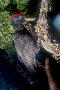 drycopus martius black woodpecker zwarte specht pic noir