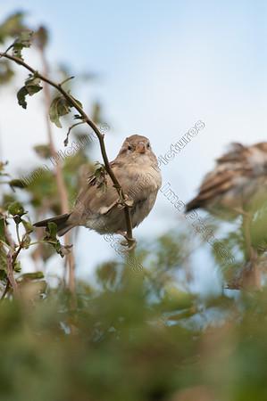 natiSparrow,mus,Moineau domestiqueve birds europese vogels oiseaux d'europe