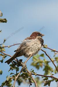 passer domesticus,sparrow,huismus,moineau domestique