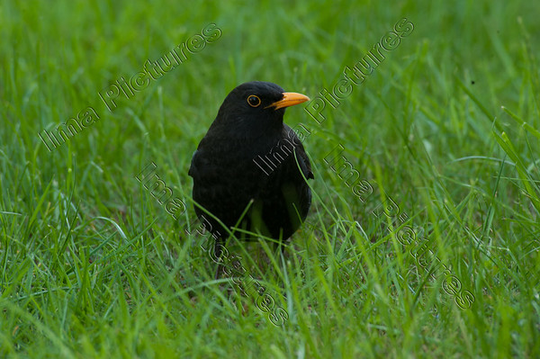 Turdus merula,common blackbird,merel,Merle noir
