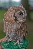 Asio flammeus,Short-eared Owl,velduil,Hibou des marais