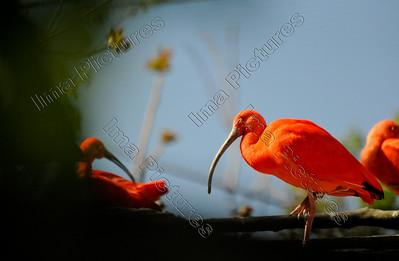 Eudocimus ruber,Scarlet ibis,Rode Ibis,Ibis rouge