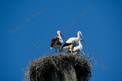 Ciconia ciconia,White stork,ooievaar,Cigogne blanche