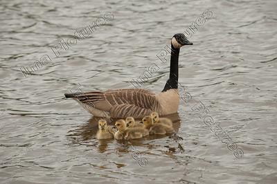 Branta leucopsis,branacle goose,brandgans,bernache nonnette,chicks,kuikens,poussins