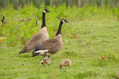 Branta canadensis,canada goose,canadese brandgans,Bernache du Canada,chicks,kuikens,poussins