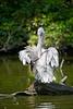 Pelicanus,pelican,pelikaan,Pélican
