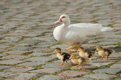Anatidae,duck,eend,canard