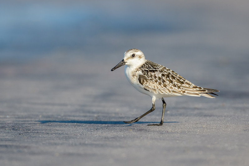 A Sanderling at the waters edge  - Assateague Island National Seashore