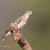 White - Winged Triller, Lalage tricolor
