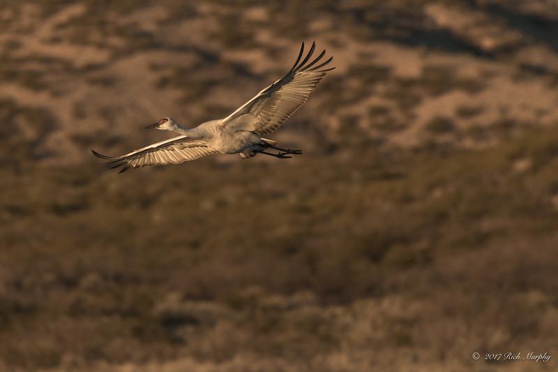 First Light's Flight.  Bosque Del Apache NM