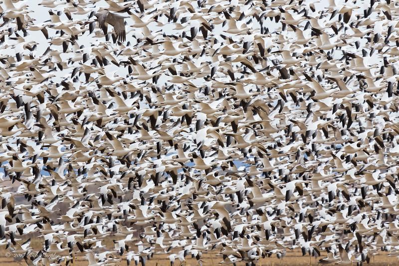 Sea of Geese, Ladd S Gordon Refuge NM
