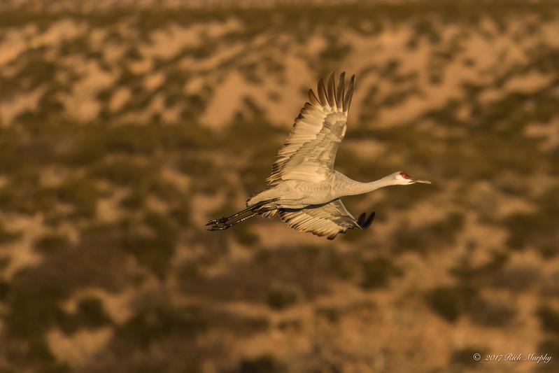 Gliding By,  Bosque del Apache NM