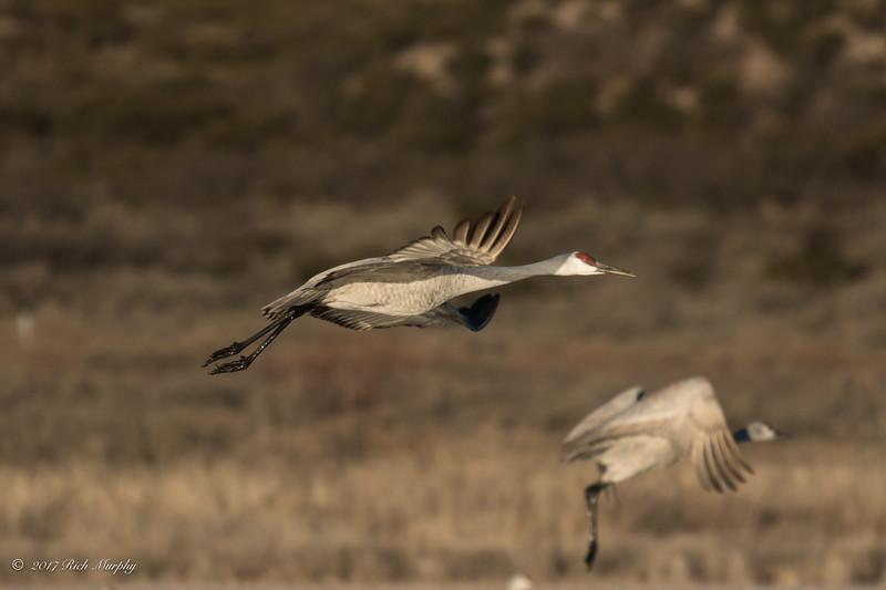 Sandhill Crane Bosque del Apache NM