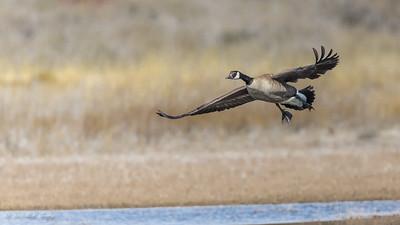 Flaps Down. Bosque del Apache NM