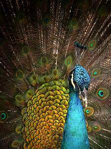 Pretty as a Peacock