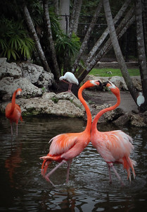 kissing flamingos =) Flamingo Gardens, FL 2012