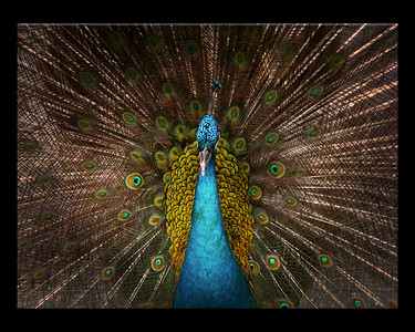 Colorful Peacock