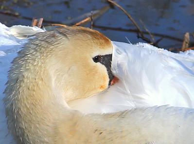 Swan at Lake Logan
