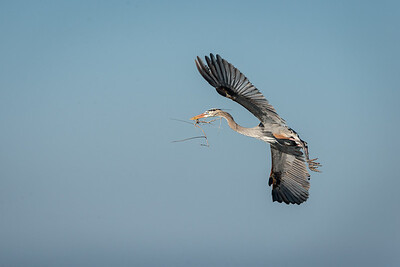 Great Blue Heron Nesting