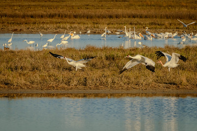 Whooping Crane Family taking off