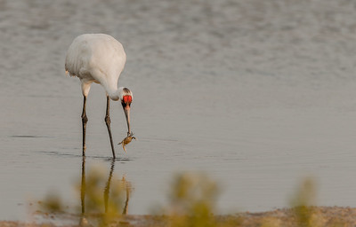 Whooping Crane with crab taken in 2013
