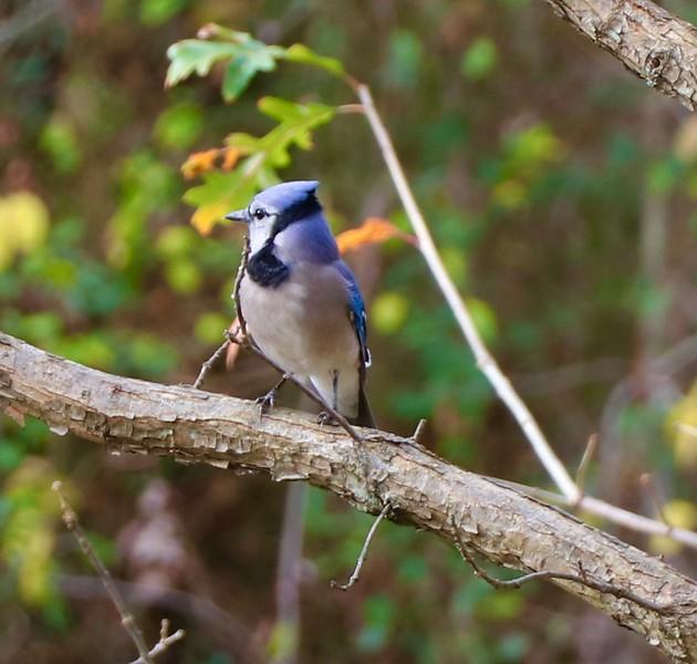 Blue Jay 12.2.20