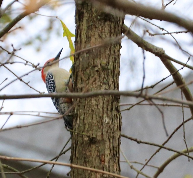 Woodpecker Dec 1, 2020