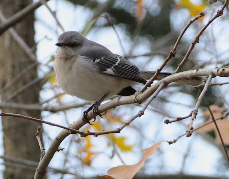 Mockingbird 12.2.20
