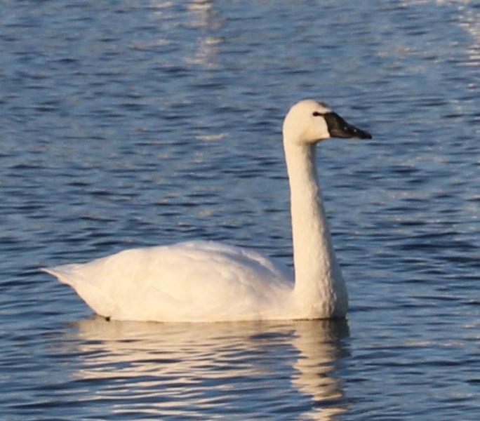 Tundra Swan 12.7.20 Thomas Point Park
