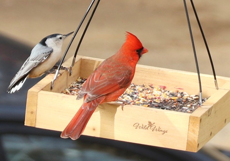Cardinal and Nuthatch Annapolis 12.2.20